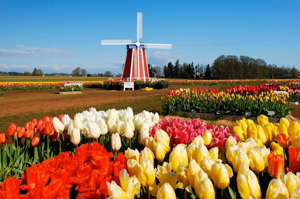 Clackamas_Wooden-Shoe-Tulip-Farm