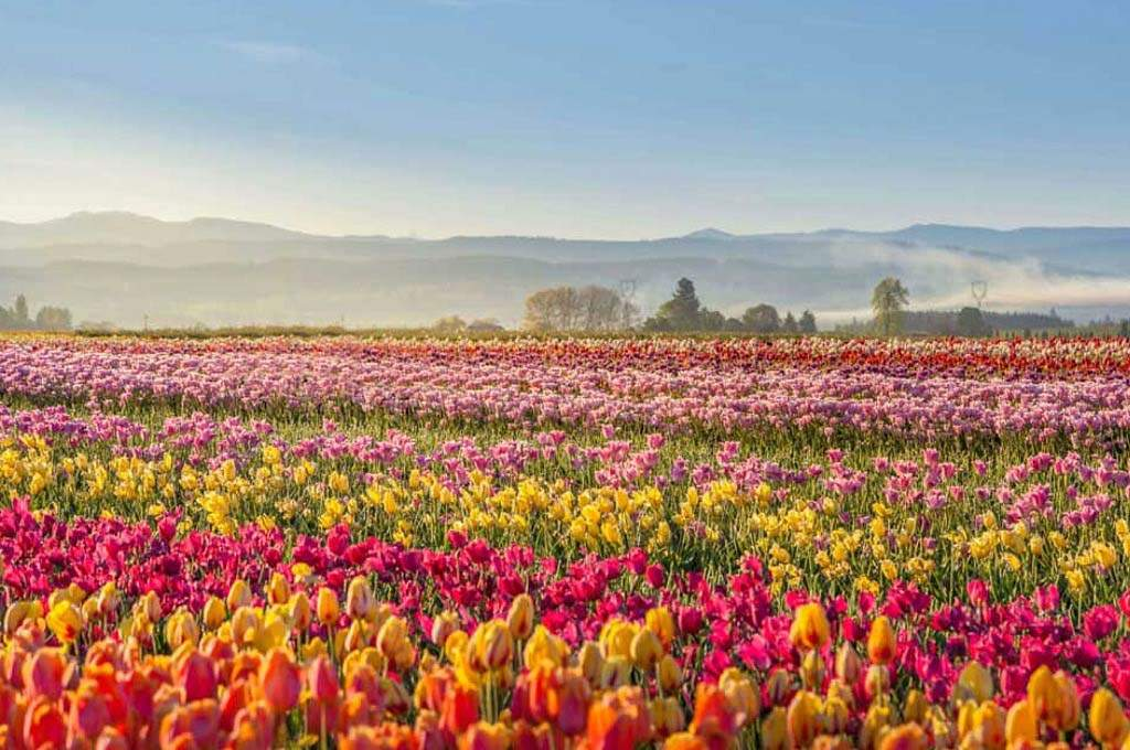 Marion_Tulips