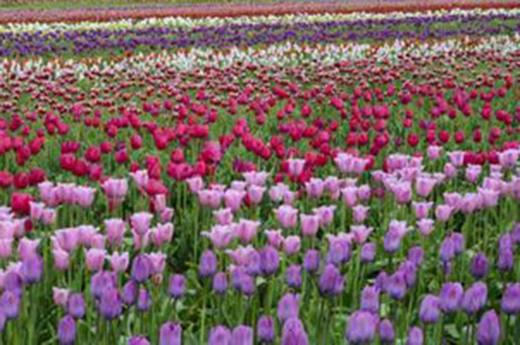 tulips-at-wooden-shoe-tulip-farm-woodburn-marion-county-oregon-usa_u-l-q12sf0e0_1024x680