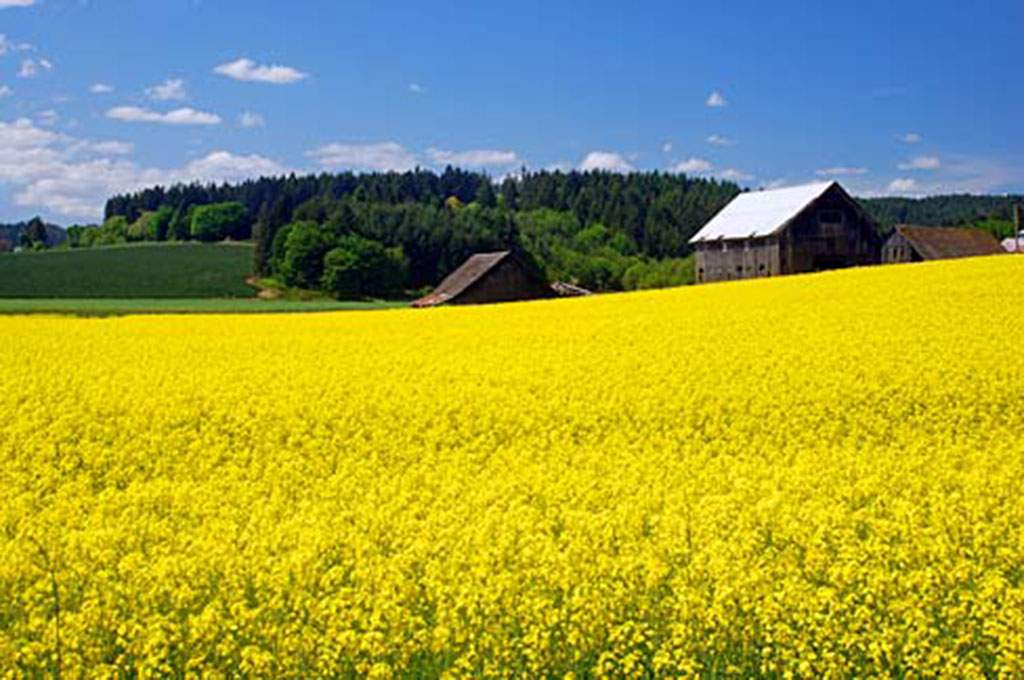 Canola_Field_in_Flower_Washington_County_Oregon_scenic_images_washDA0094_1024x680